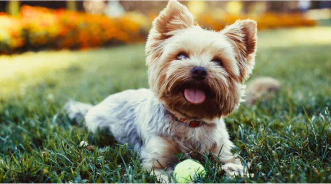 Traqueobronquite infecciosa canina