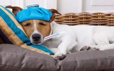 Meu cão ou gato pode contrair o novo coronavírus?